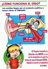 Como funciona el oído
